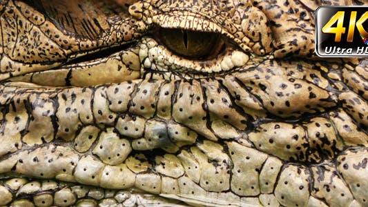 Wild Animal Crockodile Alligator in Zoo 2