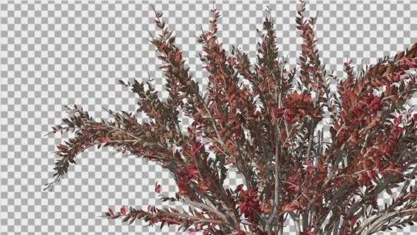 Thumbnail for Crape Myrtle Bush Red LeavesSwaying Branches