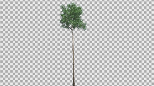 Thumbnail for Flooded Gum Tree Thin Tall Tree Trunk Green
