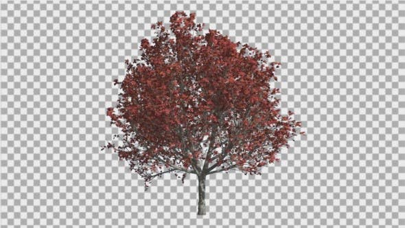 Bradford Pear Fall Red Shade of Leaves Swaying