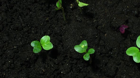 Young Green Sprouts On Black Organic Soil