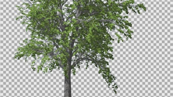 Thumbnail for European Linden Tree Green Swaying Branches