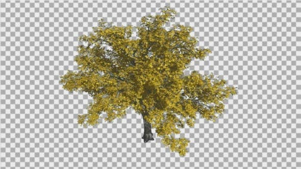 American Elm Swaying Tree Branches