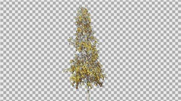 Thumbnail for European Aspen Thin Tree Swaying Tree Wind