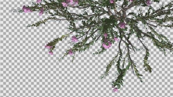 Thumbnail for Crape Myrtle Bush Top Down Violet Flowers Green