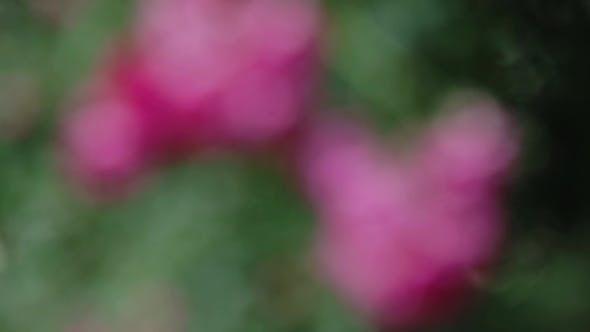 Thumbnail for Rose Bush