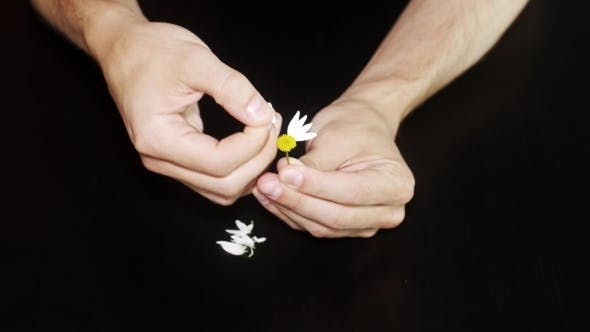 Thumbnail for Daisy Divination. Man's Hands On Black Background