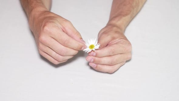 Thumbnail for Daisy Divination Man's Hands On White Background
