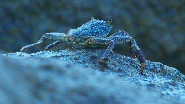 Thumbnail for Stone Crab