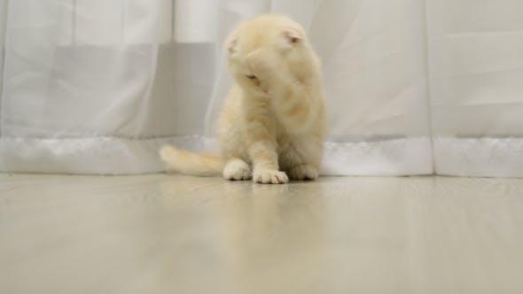 Thumbnail for Scottish Fold Kitten Licking  Fur