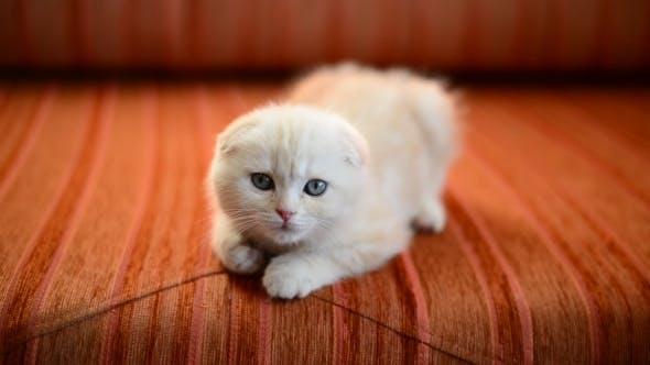 Thumbnail for Scottish Fold Kitten Lies On  Red Sofa