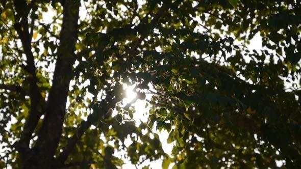Thumbnail for Tree Of Sunlight