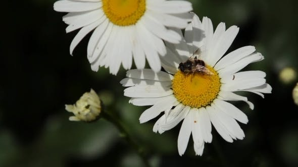 Thumbnail for A Bee On a Daisy Flower
