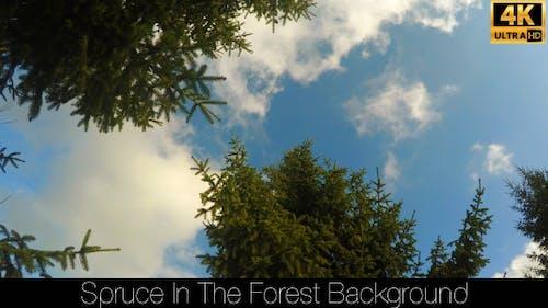 Fichte im Wald