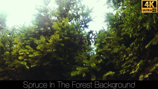 Cover Image for Spruce In The Forest 5