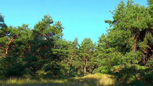 Thumbnail for Glade in a Pine Forest