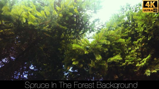 Thumbnail for Spruce In The Forest 6