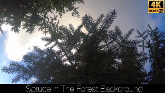 Cover Image for Spruce In The Forest 11