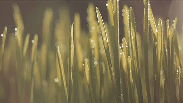 Thumbnail for Grass with Dew