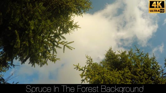 Thumbnail for Spruce In The Forest 19