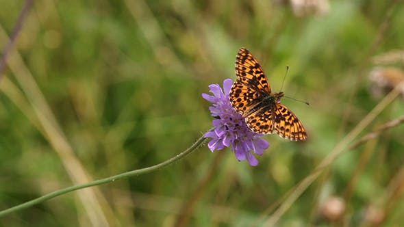 Thumbnail for Silver-washed Fritillary (Argynnis paphia)