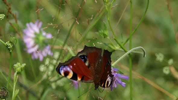 Thumbnail for European Peacock (Aglais Io) Butterfly