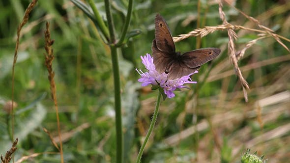 Cover Image for Ringlet (Aphantopus Hyperantus) Butterfly