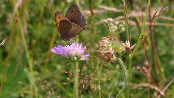 Thumbnail for Ringlet (Aphantopus hyperantus) Butterfly