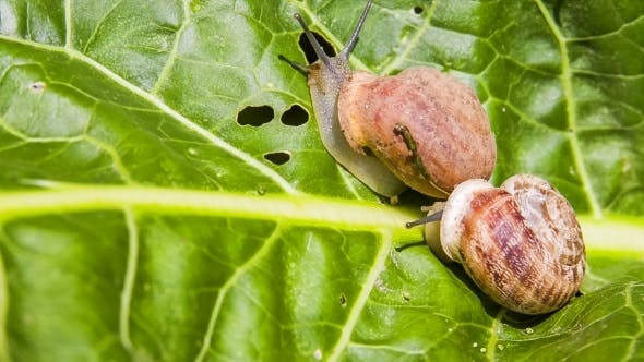 Thumbnail for Two Snails Creeping On a Green Leaf