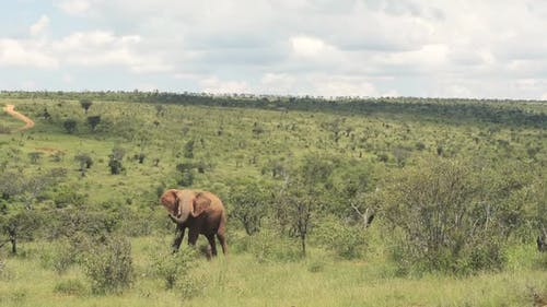 A Huge Elephant Eating Fresh Grass In The Wilderness On A Sunny Day At Kenya Wildlife - Wide Shot