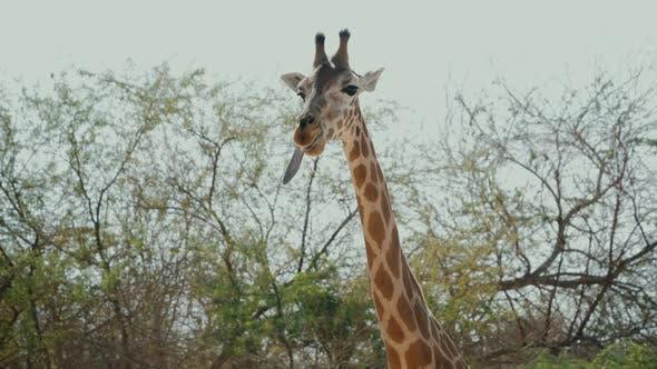 Thumbnail for Beautiful African Giraffe Chewing Tongue