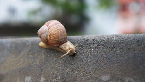Burgundi Snail Gliding on the Asphalt