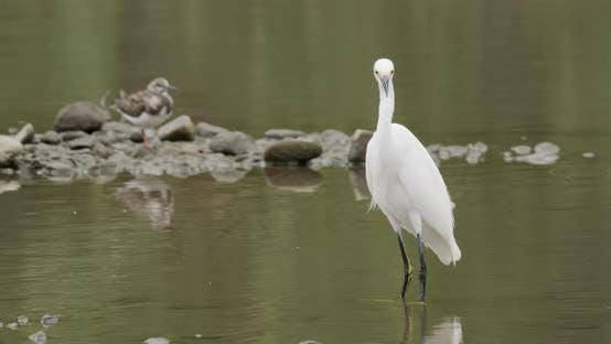 Thumbnail for Snowy Egret Adult Lone in Costa Rica Central America