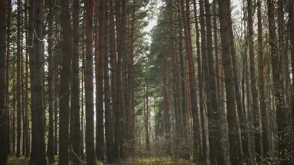 Thumbnail for Sun Beams At The Pine Forest 14