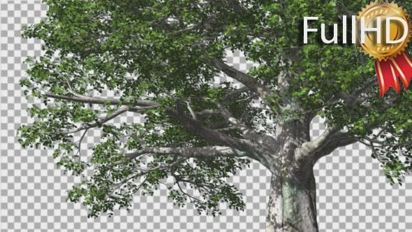 Thumbnail for European Beech Tree Green Swaying Branches Leaves