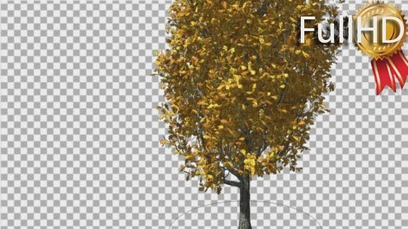 Thumbnail for Cypress Oak Tree Yellow Swaying Branches Leaves
