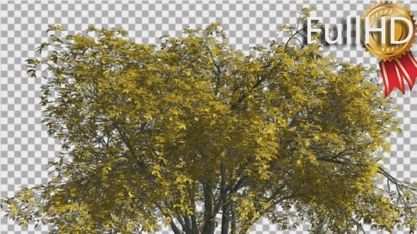 Thumbnail for American Elm Crown Isolated Tree Crown Yellow