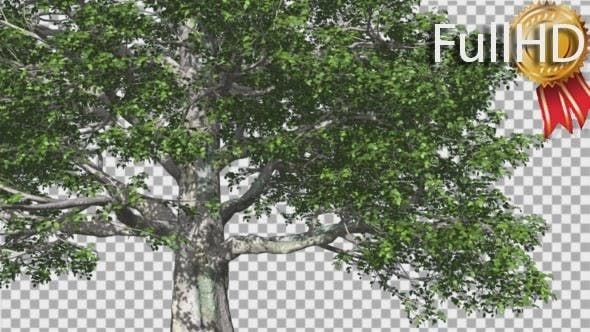 Cover Image for European Beech Tree Green Swaying Branches Leaves