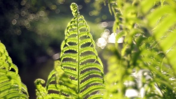 Thumbnail for Ferns In The Forest