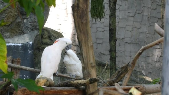 Thumbnail for Pair Of White Cockatoo On The Tree In Love