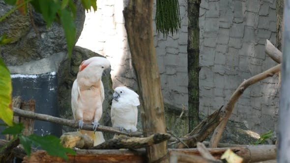 Thumbnail for Two Cockatoo Parrots Flirting On The Tree