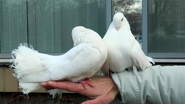 Thumbnail for Two Beautiful Dove Sitting on a Man Hand