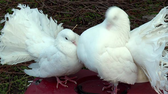 Thumbnail for Beautiful White Doves