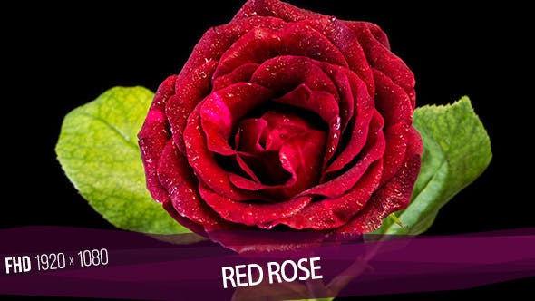 Cover Image for Red Rose