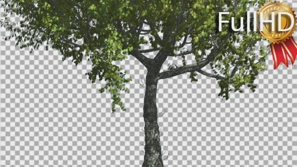 Thumbnail for Red Oak Tree Trunk And Crown With Green Leaves
