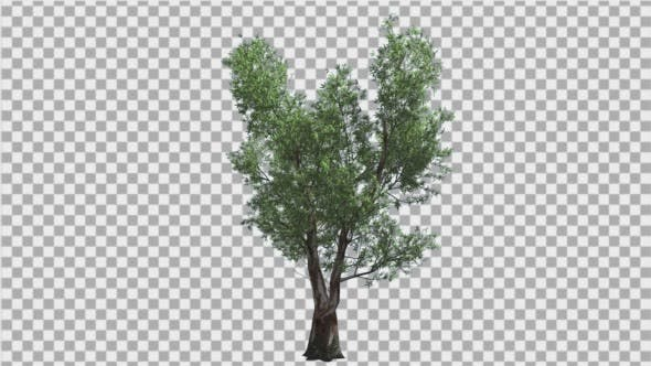Thumbnail for Red Gum Doubled Trunk Tree Green Leaves Tree