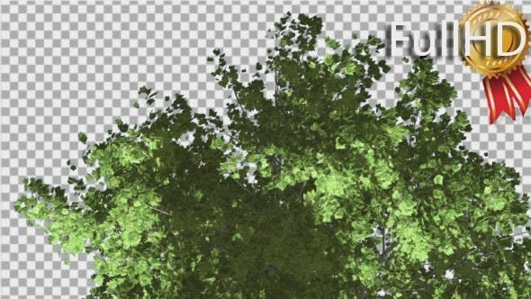 Thumbnail for Red Maple Top of Tree Crown With Green Leaves
