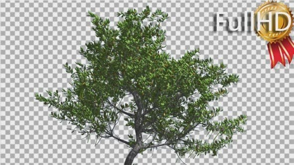 Thumbnail for Red Mangrove Small Thin Tree is Swaying Wind