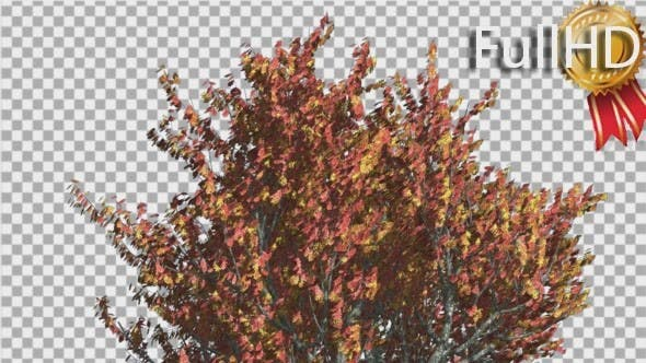 Thumbnail for Red Oak Tree Crown With Red And Yellow Leaves