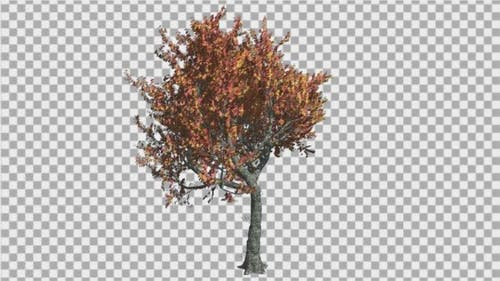 Red Oak Tree is Swaying at The Wind Yellow and